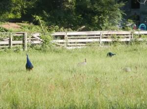 20130714-Peacocks