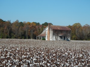 20131102-Cotton