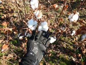 20131102-CottonClose